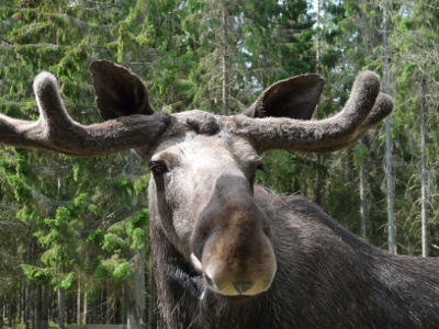 Dalsland Moose Ranch